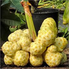 Utilisation du Noni dans le monde, le fruit la plante